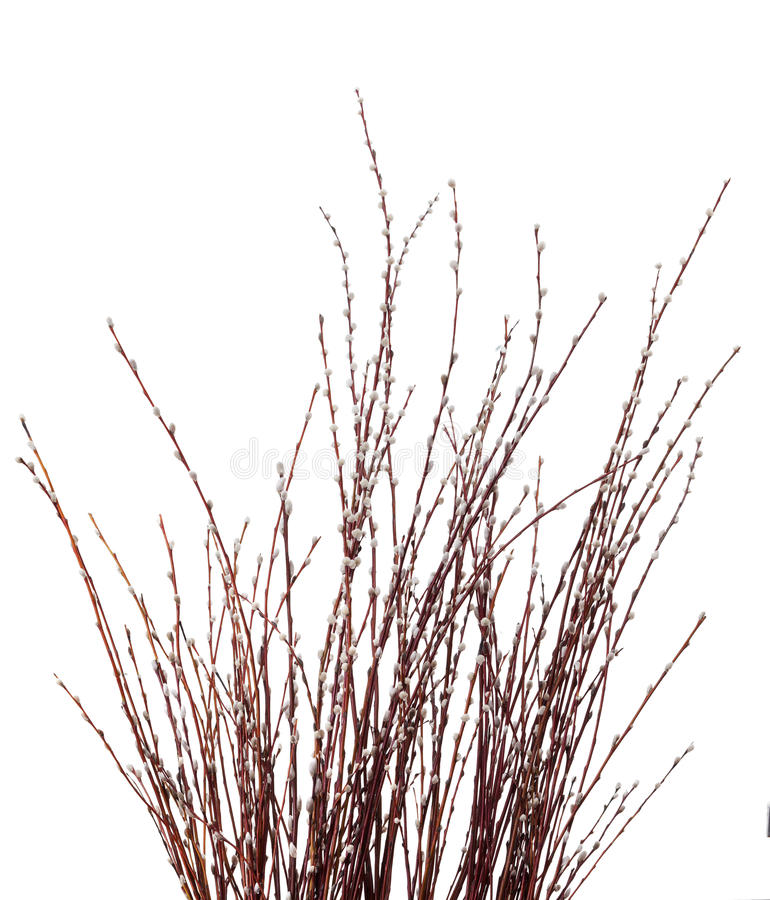 Willow catkins. Willow twig isolated on white stock images