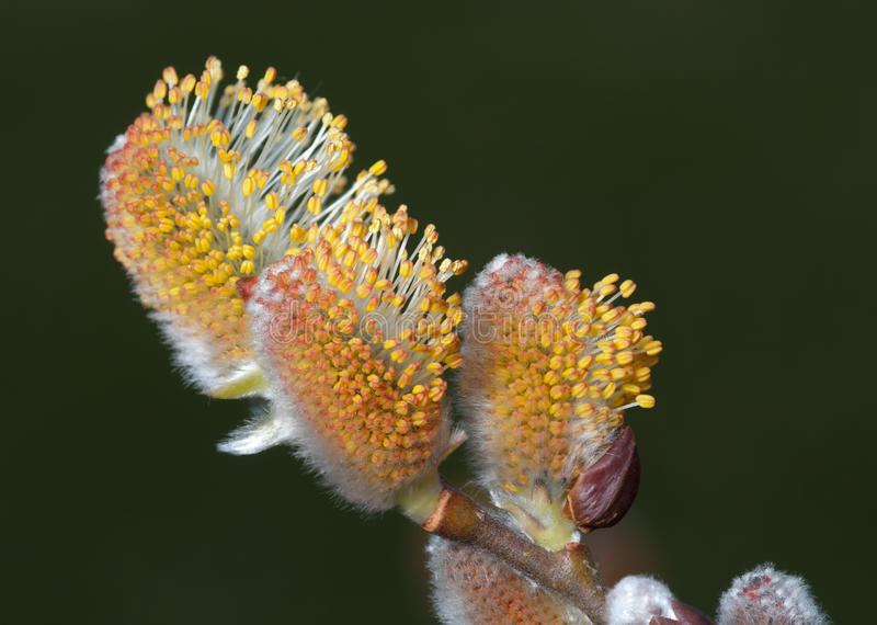 Download Willow Catkins Stock Photos - Image: 22657733