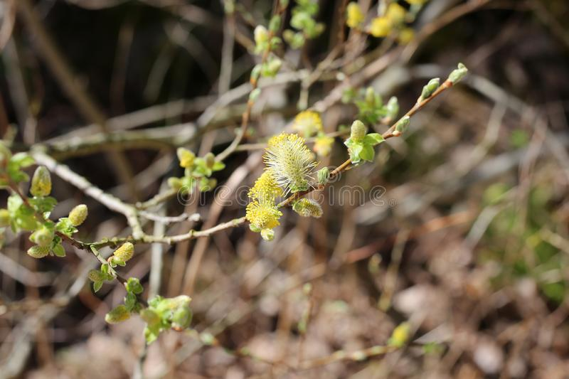 Pussy Willow Catkins Photographed tijdens Sunny Day royalty-vrije stock afbeelding