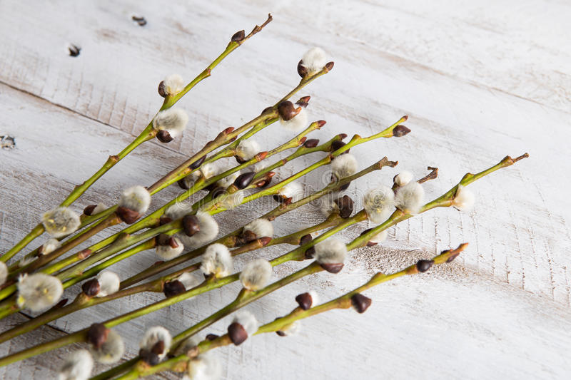 willow catkins royalty free stock images