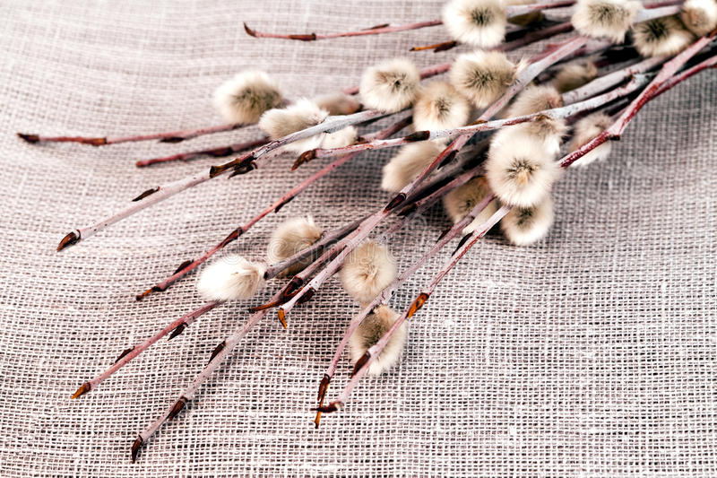 Pussy-willow twigs royalty free stock images
