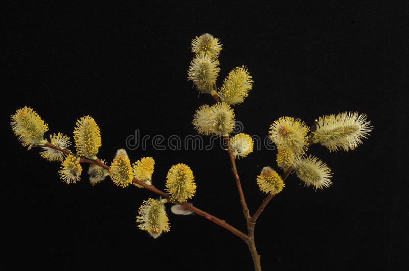 Download Willows stock image. Image of black, flower, fuzzy, plant - 13772831