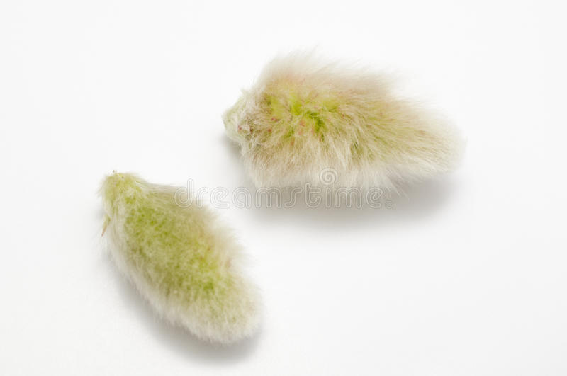 Download Willows seed stock image. Image of fluffy, beauty, close - 29927587