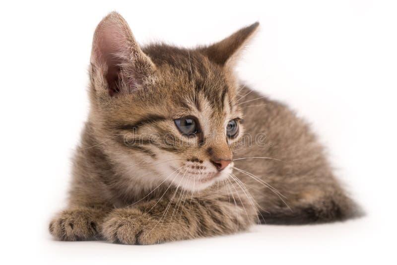 Pussycat fotografia stock