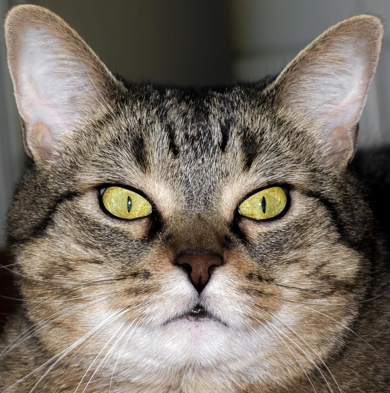 Download Pussycat stock photo. Image of pelage, coat, nose, breed - 26337718