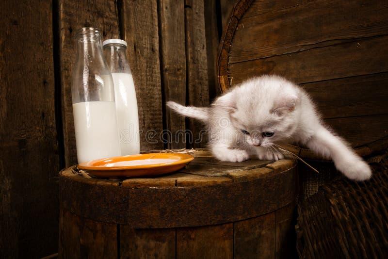 Pussykatze mit Milch lizenzfreie stockfotos