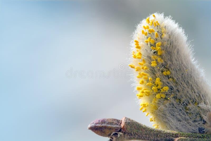 Pussyweidenkätzchen mit dem Blütenstaub gegen Blau lizenzfreie stockfotos