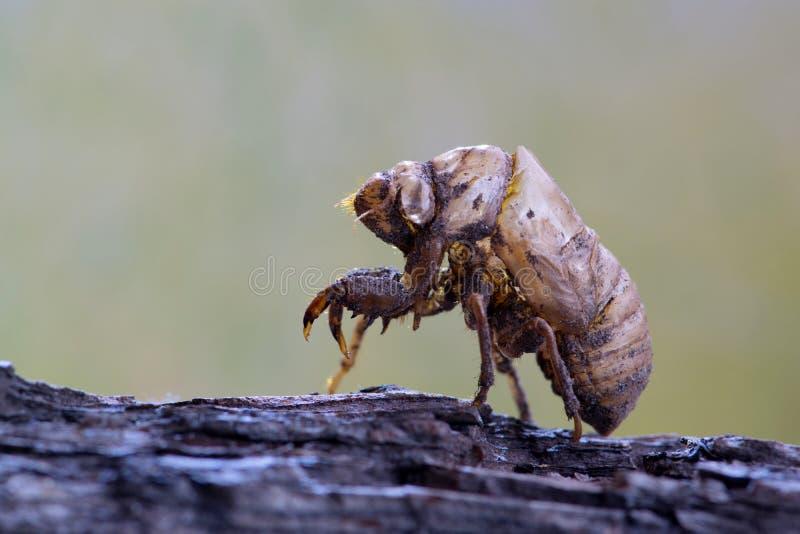 Pusta cykady plewa po molting obrazy stock