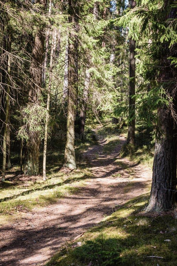 pusta lasowa ścieżka między dużymi świerkowymi drzewami obrazy stock