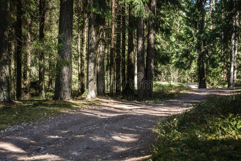 Pusta lasowa ścieżka przez gęstego jedlinowego lasu zdjęcie stock
