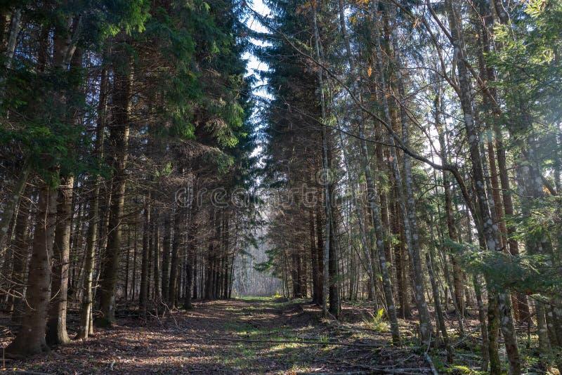 pusta lasowa droga, obie strony wielkich świerkowych drzewa; zdjęcia royalty free