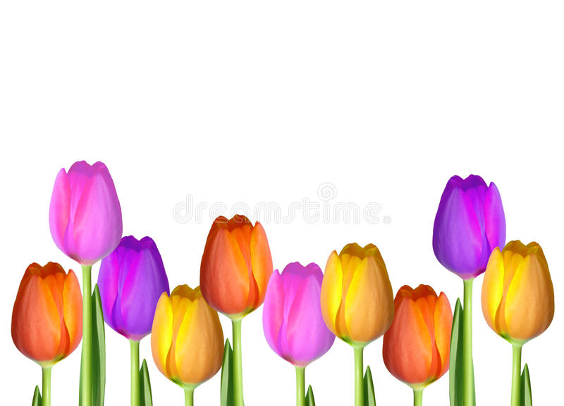 Puste miejsce Odizolowywający tulipan karty tło fotografia royalty free