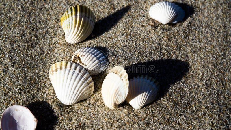 Puste mussel skorupy przy plażą zdjęcia royalty free