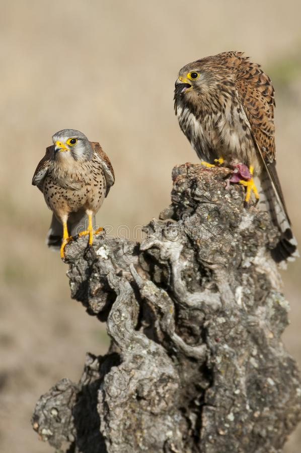 Pustułka pospolita i samica Falco tinunculus obrazy stock