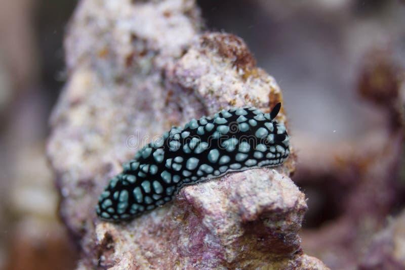 Pustulose Wart Slug Nudibranch på Coral Reef fotografering för bildbyråer