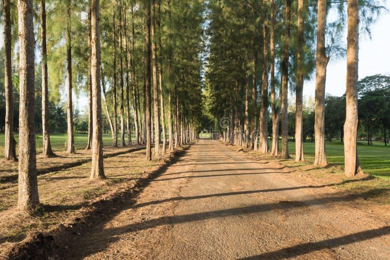 Pusty drogi gruntowej i sosny las z rzędu obraz stock
