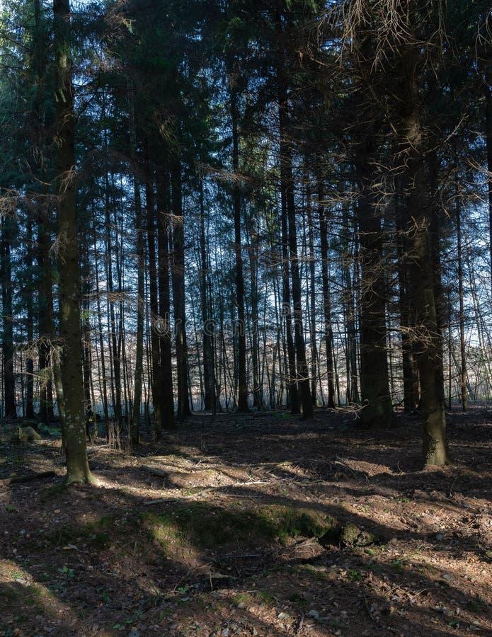 pusty gęsty świerkowy las zdjęcie stock