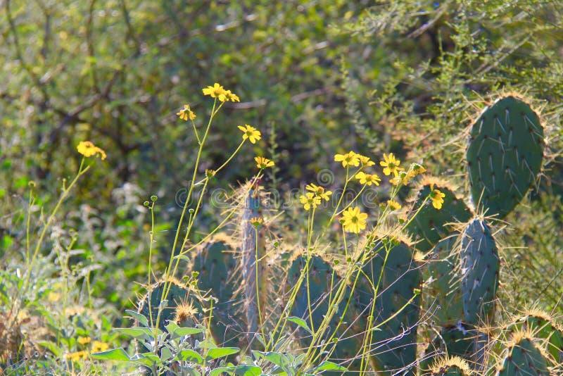 Pustynia kaktus i kwiaty obraz stock