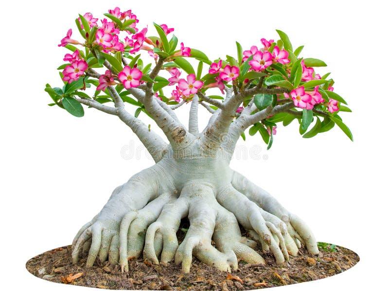 Pustynia różana lub śwista Bignonia kwiatu drzewo odizolowywający na bielu zdjęcie stock