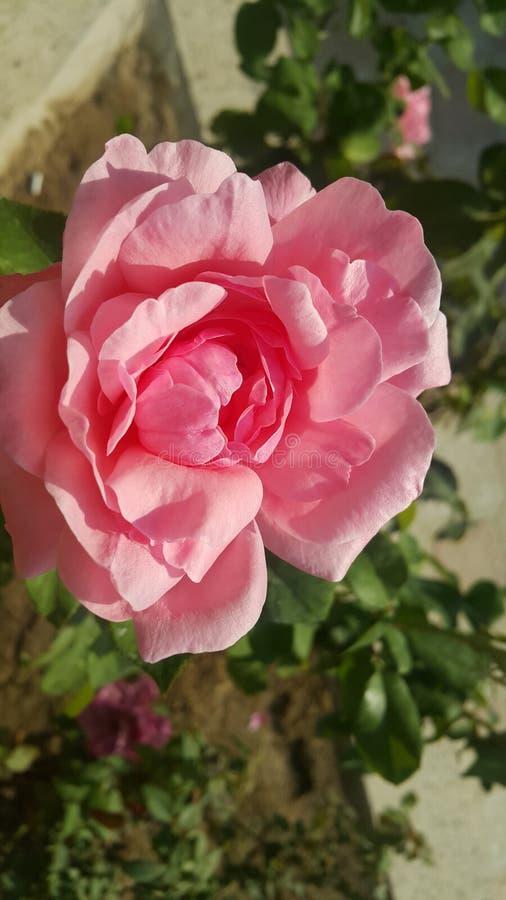 pustynia rose obrazy stock