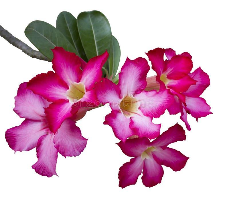 Pustynia Wzrastał kwiaty zdjęcia stock