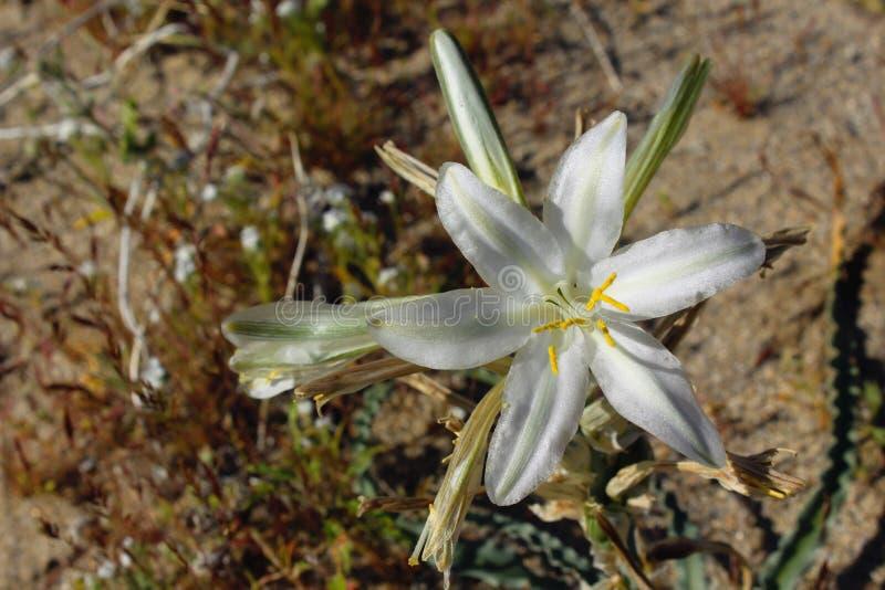 Pustynna leluja lub ajo leluja, Anza Borrego pustyni stanu park, Kalifornia obraz stock