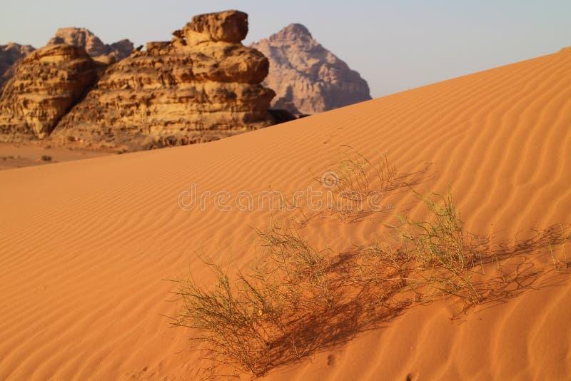 Pustynna roślina w wadiego rumu, Jordania obraz royalty free