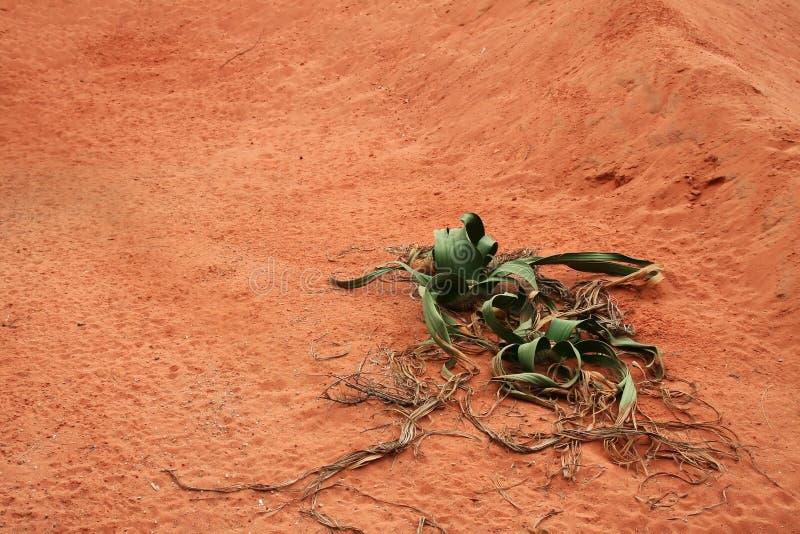 pustynna roślinnych zdjęcia royalty free