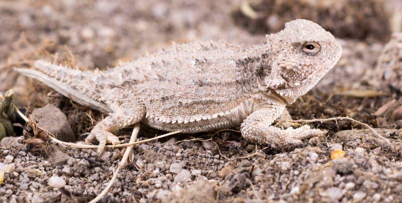 Pustynna rogata jaszczurka jest gatunki o (Phrynosoma platyrhinos) obrazy royalty free