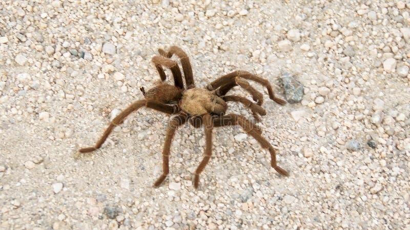 Pustynna tarantula fotografia royalty free