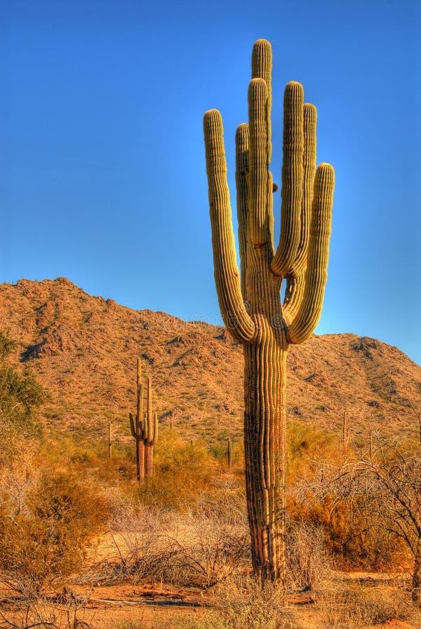 pustynne saguaro obrazy royalty free