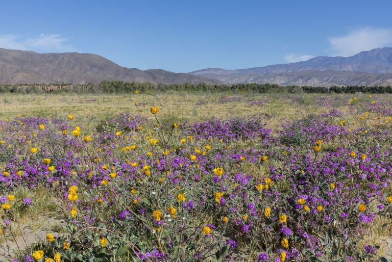 Pustynnego punktu i Pustynnego słonecznika kwitnienie w Kalifornia d zdjęcia stock
