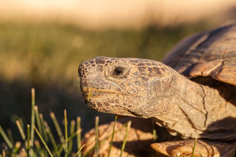 Download Pustynnego Tortoise Zakończenie Up Obraz Stock - Obraz złożonej z opustoszały, tortoise: 106900315
