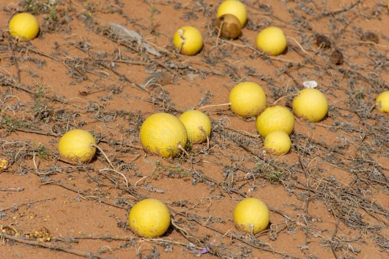 Pustynni kabaczka Citrullus colocynthis Handhal w piasku w Zjednoczone Emiraty Arabskie UAE zdjęcie royalty free