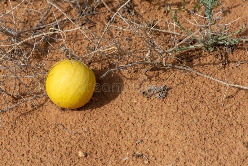 Pustynni kabaczka Citrullus colocynthis Handhal w piasku w Zjednoczone Emiraty Arabskie zdjęcia stock