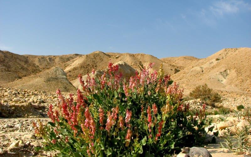 pustynni kwiaty obrazy stock