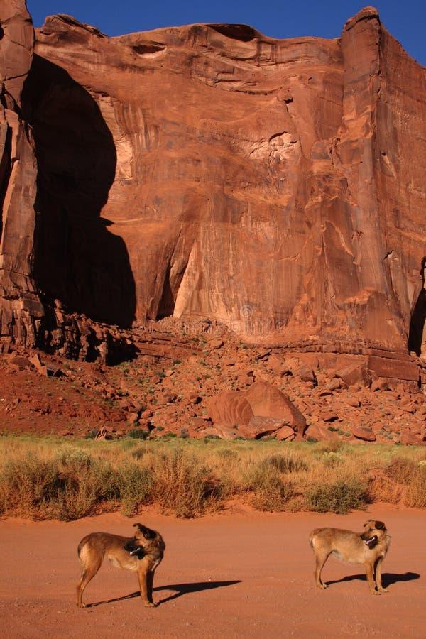 pustynni psy zdjęcie royalty free