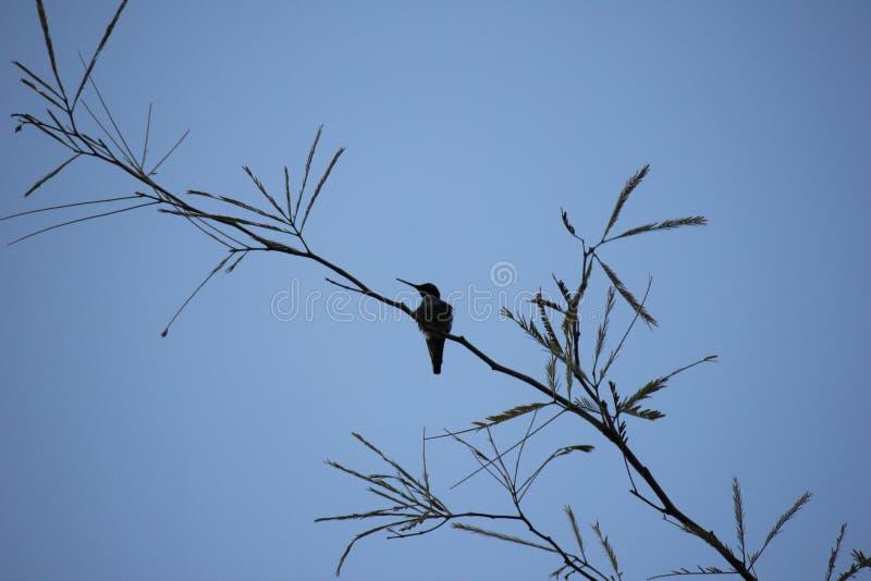 Pustynni ptaki miewają skłonność być target5_0_ obfici dokąd roślinność jest lusher i tak oferuje insekty, owoc i ziarna więcej,  fotografia stock