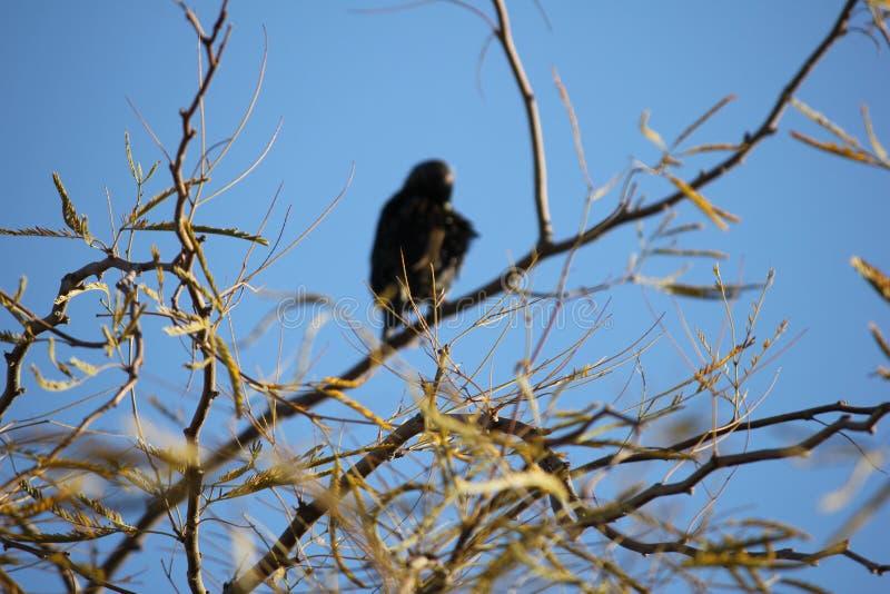 Pustynni ptaki miewają skłonność być target5_0_ obfici dokąd roślinność jest lusher i tak oferuje insekty, owoc i ziarna więcej,  obrazy royalty free