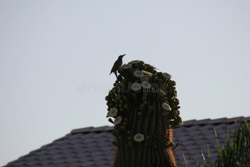 Pustynni ptaki miewają skłonność być target5_0_ obfici dokąd roślinność jest lusher i tak oferuje insekty, owoc i ziarna więcej,  zdjęcia stock