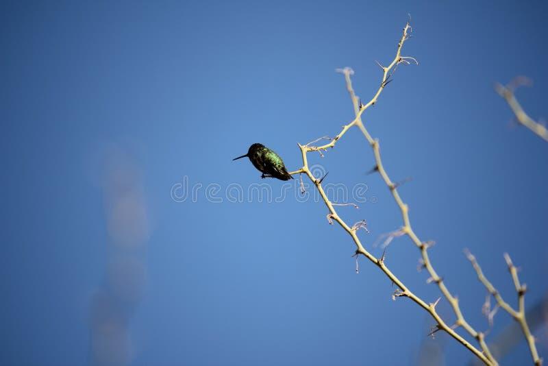 Pustynni ptaki miewają skłonność być target5_0_ obfici dokąd roślinność jest lusher i tak oferuje insekty, owoc i ziarna więcej,  zdjęcia royalty free