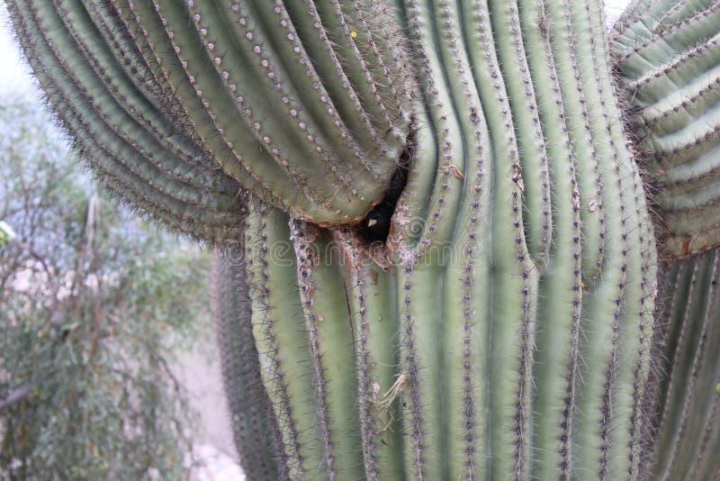 Pustynni ptaki miewają skłonność być target5_0_ obfici dokąd roślinność jest lusher i tak oferuje insekty, owoc i ziarna więcej,  zdjęcie stock