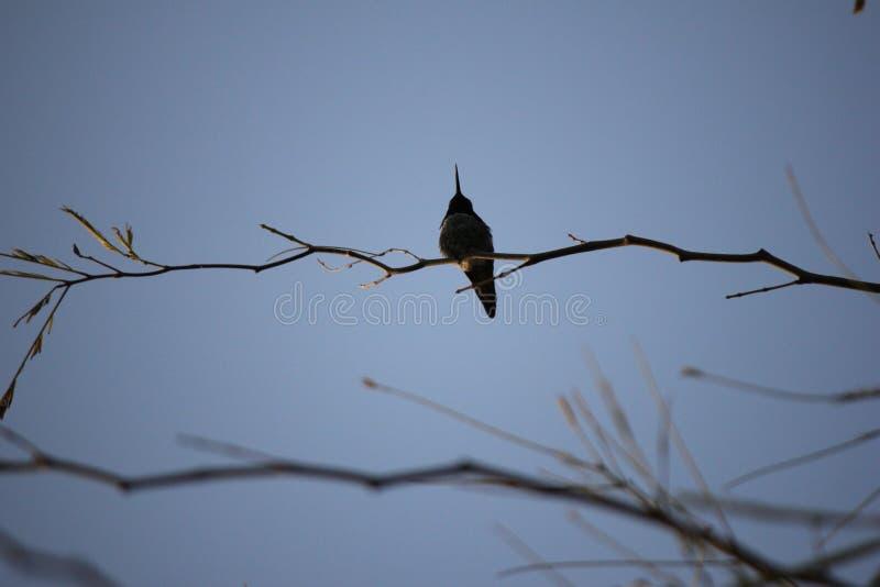 Pustynni ptaki miewają skłonność być target5_0_ obfici dokąd roślinność jest lusher i tak oferuje insekty, owoc i ziarna więcej,  zdjęcie royalty free