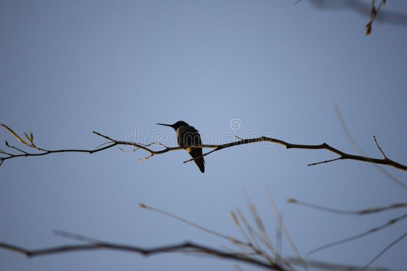 Pustynni ptaki miewają skłonność być target5_0_ obfici dokąd roślinność jest lusher i tak oferuje insekty, owoc i ziarna więcej,  obraz royalty free