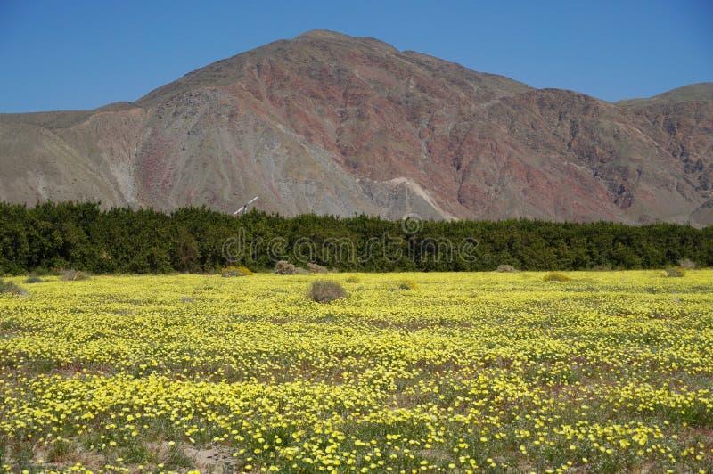 Pustynny Dandelion dywan w Kalifornia obraz stock