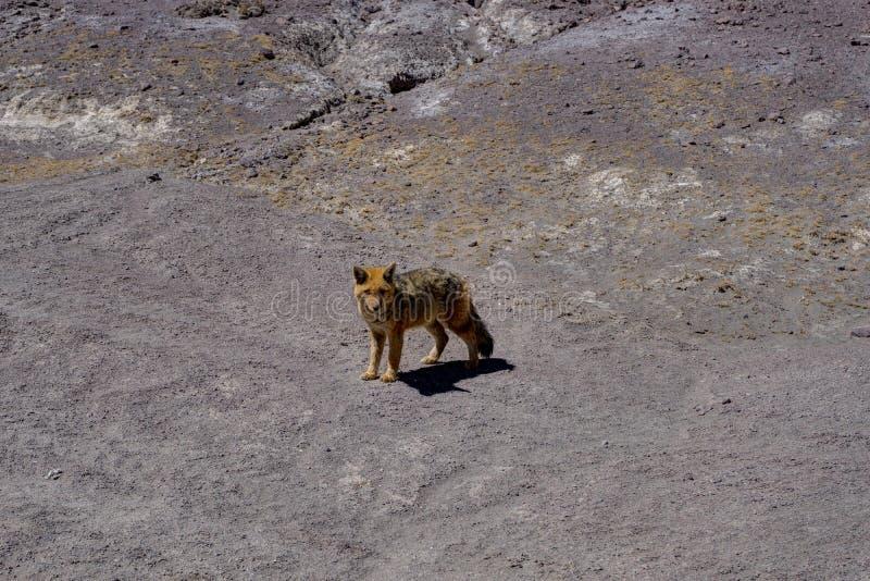 Pustynny Fox kojot Altiplano Boliwia fotografia royalty free