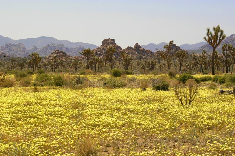 Pustynny krajobraz po wiosna deszczów powodował żółtych kwiaty kwitnąć z pięknym kolorem inaczej zdewastowany tło obrazy royalty free