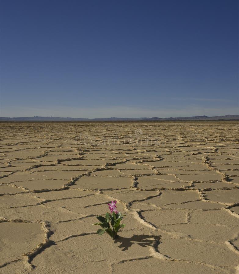 pustynny kwiat fotografia royalty free