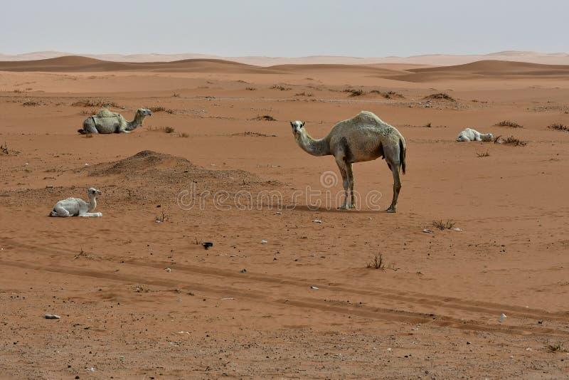 Pustynny piasek i Bezpłatni wielbłądy w sercu Arabia Saudyjska na sposobie Riyadh, fotografia stock
