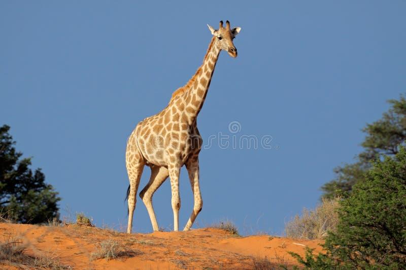 pustynny wydmowy żyrafy Kalahari piasek fotografia royalty free